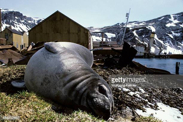 Subantarctica South Georgia Elephant Seal Old Norwegian Whaling Station Grytviken Background