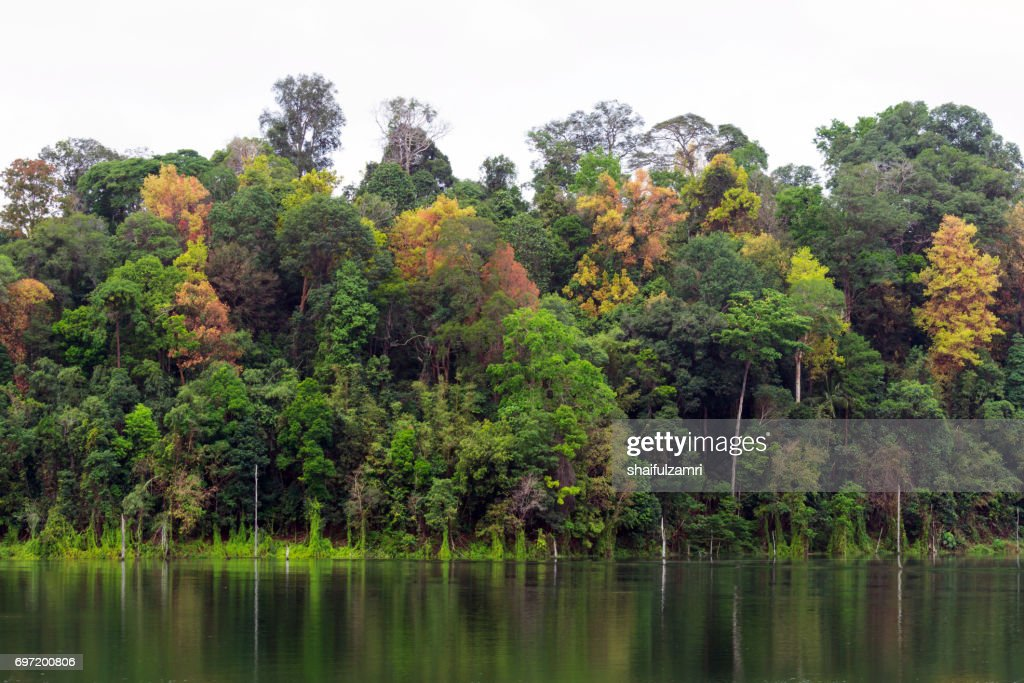 A submerged forest in Royal Belum Rainforest park - is believed to have been in existence for over 130 million years making it one of the world's oldest rain-forests. : Stock Photo
