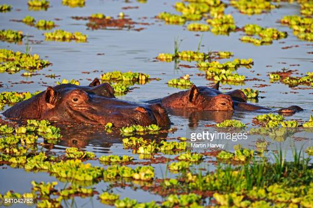 submerged hippopotamus - south luangwa national park stock pictures, royalty-free photos & images