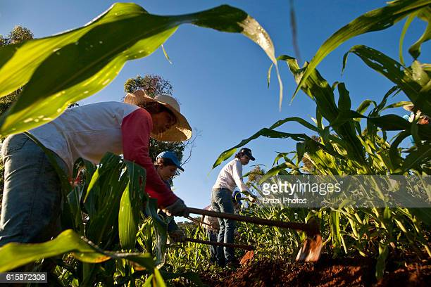 Subsistence agriculture family farm corn cultivation small landowner Minas Gerais State Brazil