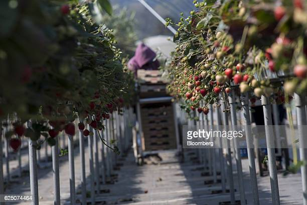 Substrate grown strawberries are seen as a worker picks fruit at the Driscoll's Inc facility on the McGrath Ranch in Watsonville California US on...