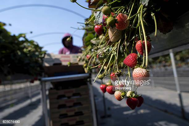 Substrate grown strawberries are seen as a worker picks the fruit at the Driscoll's Inc facility on the McGrath Ranch in Watsonville California US on...