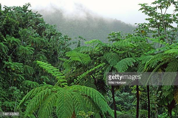 Subtropical Puerto Rican rainforest with treeferns at El Yunque Caribbean National Forest Sierra de Luquillo Puerto Rico USA