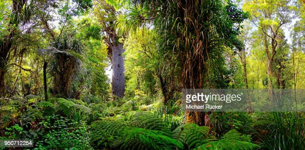 Subtropical rainforest, kauri (Agathis australis) tree behind, Tane Mahuta, Lord of the Forest, largest living kauri tree, Waipoua Forest, North Island, New Zealand