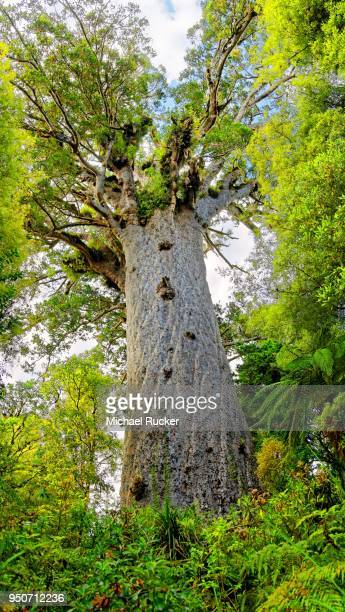 Subtropical rainforest, largest living kauri (Agathis australis) tree, Tane Mahuta, Lord of the Forest, Waipoua Forest, North Island, New Zealand