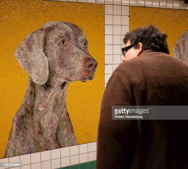 Subway passenger gazes at the murals of artist William Wegman's famous Weimaraners recently unveiled at the renovated 23rd Street MTA station in...