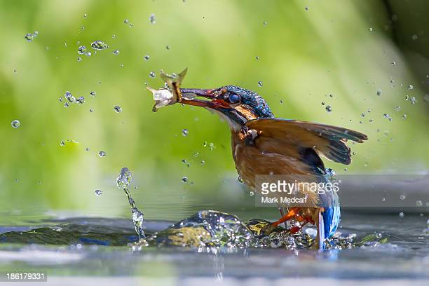 Success! - Kingfisher catching a fish