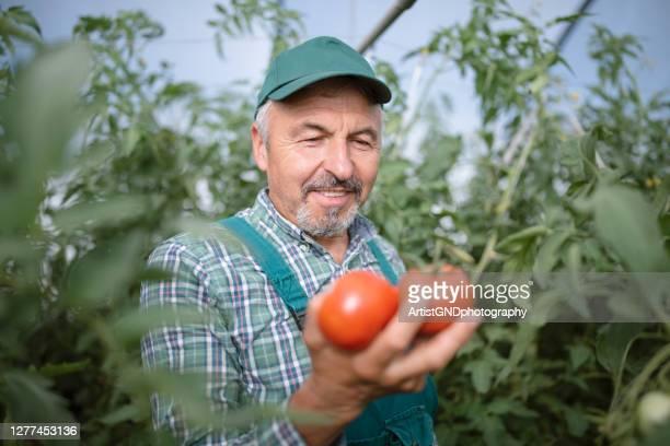 succesvolle hogere landbouwer in zijn tomatenkas, gelukkige landbouwer - alleen seniore mannen stockfoto's en -beelden