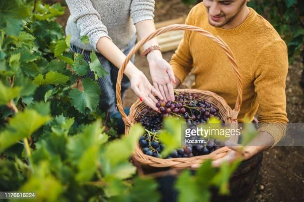 successful togetherness grape harvesting - ramo parte de uma planta imagens e fotografias de stock