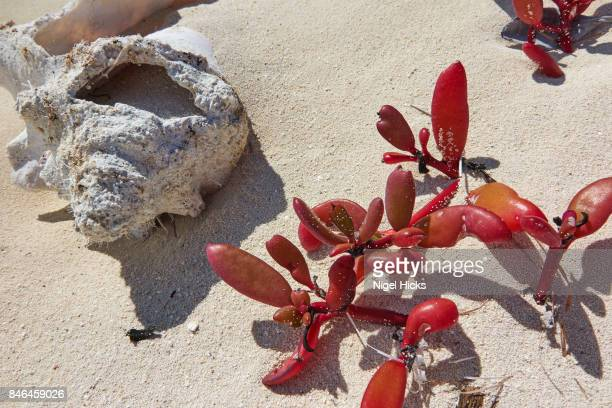 succulent beach-colonising shore vegetation besie a disintegrating conch shell, in caribbean shoreline sand. - disintegration stock photos and pictures