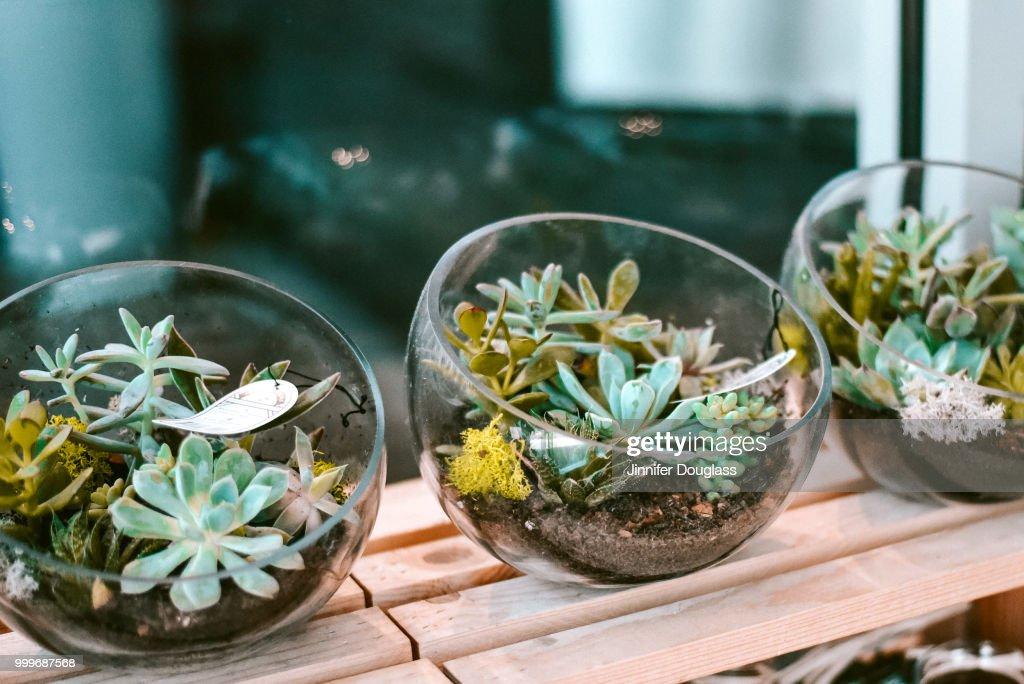 Succulent Bowls : Stock Photo
