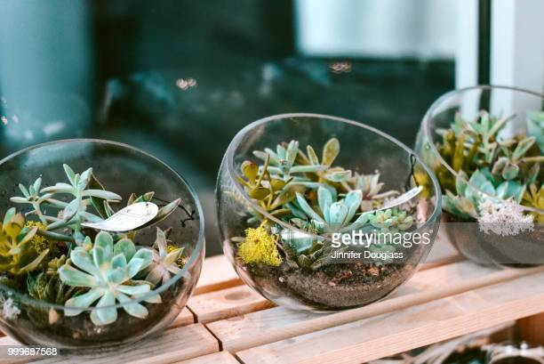 succulent bowls - jinnifer douglass stock photos and pictures