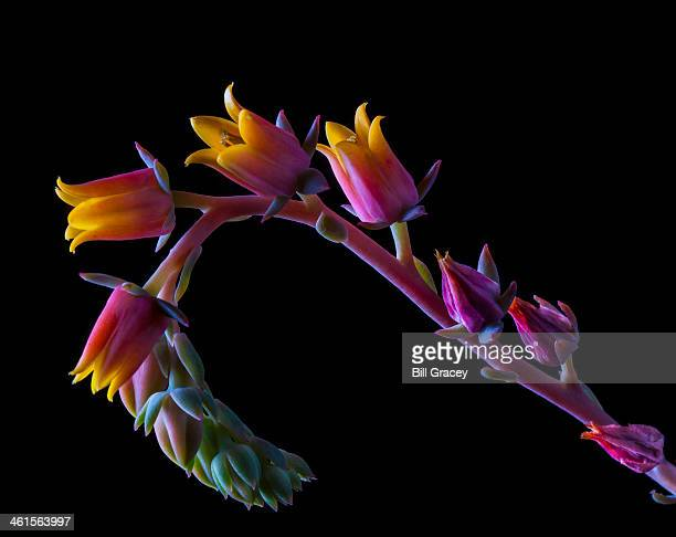 Succulent Flowers On A Stalk