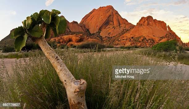 succulent kobas tree (cyphostemma currori) plant growing at spitzkoppe, erongo region, namibia - erongo stock photos and pictures