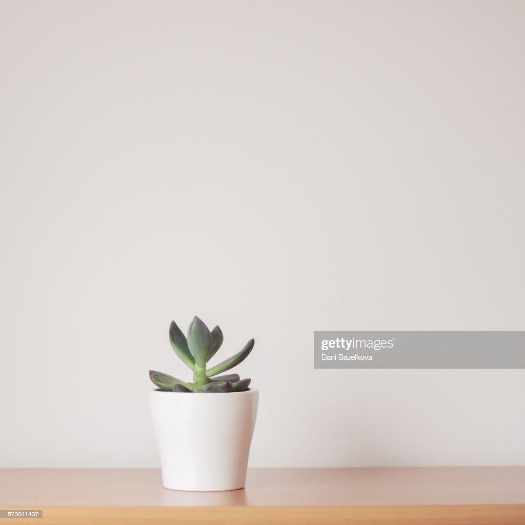 Succulent : Stock Photo