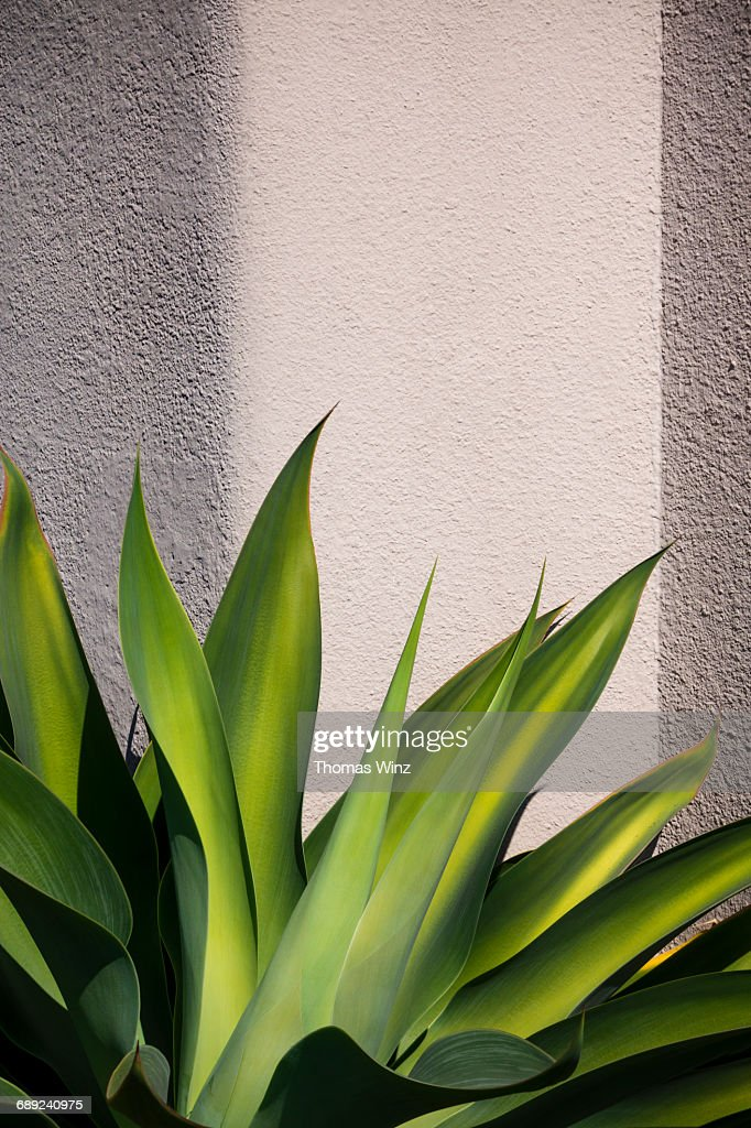 Succulent Plant , Agave Attenuata : Stock Photo