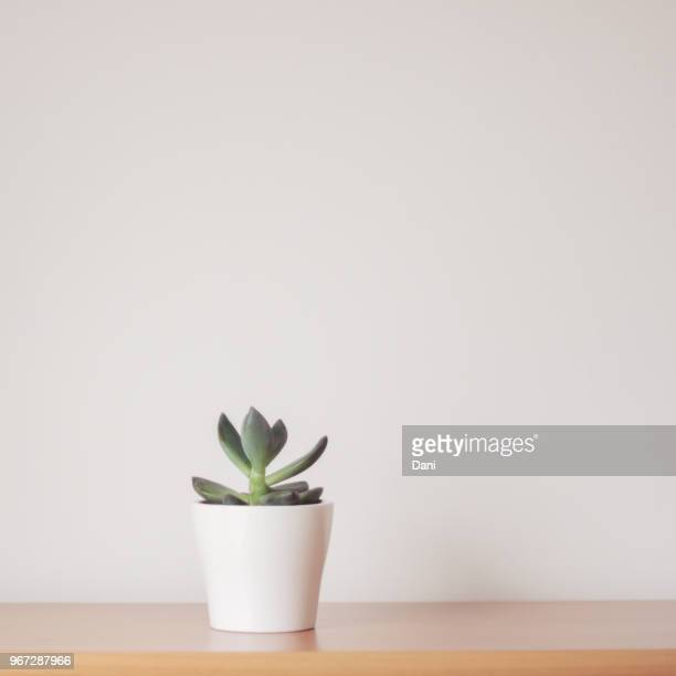 succulent plant in a plant pot - succulent stock pictures, royalty-free photos & images
