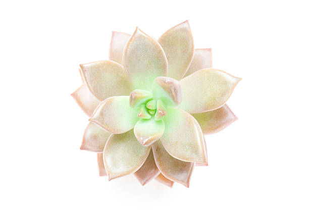 Succulent Plant On White. Wall Art