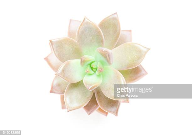 succulent plant on white. - succulent stock photos and pictures