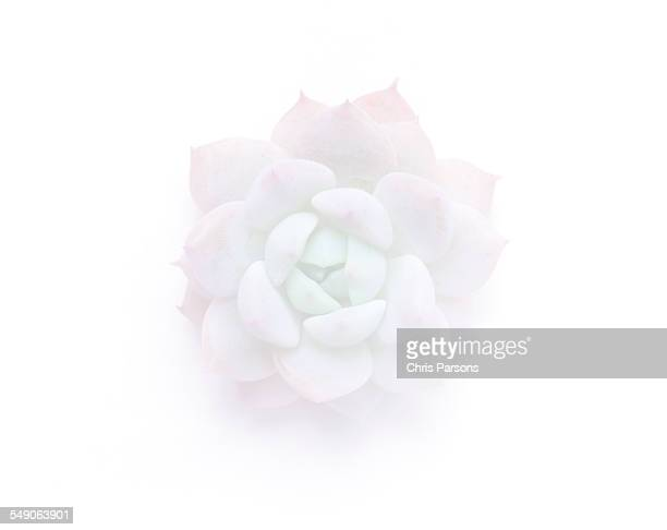 Succulent plant on white.