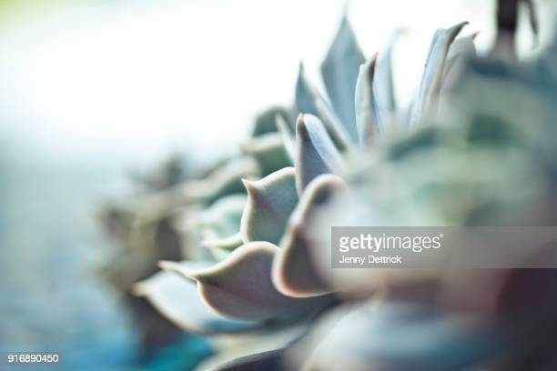 succulent plant - succulent stock pictures, royalty-free photos & images