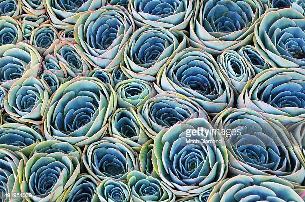 Succulent plants close together