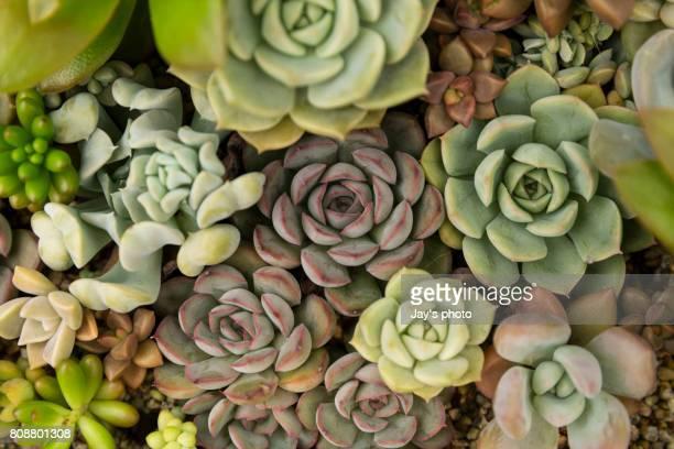 succulent plants growing at garden - bicolore photos et images de collection