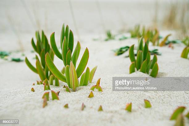 Succulent plants growing in sand