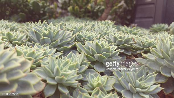 succulent plants growing on field - succulent stock pictures, royalty-free photos & images