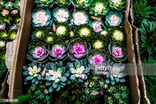 succulent plants - planta carnosa fotografías e imágenes de stock