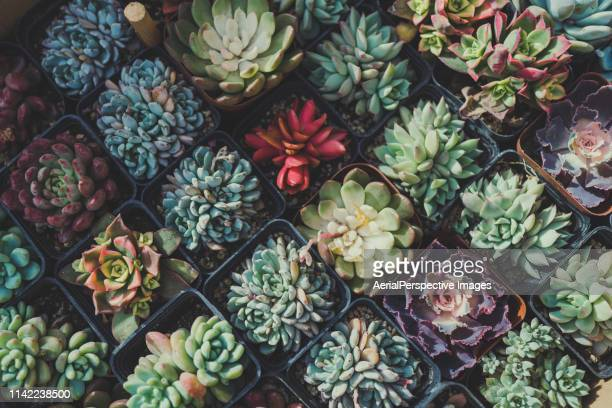 succulent plants - large group of objects stock pictures, royalty-free photos & images
