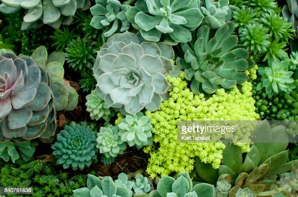 succulent plants - flower wallpaper stock pictures, royalty-free photos & images