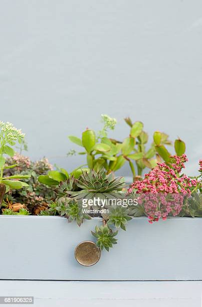 Succulents, cacti and phedimus planted in a drawer