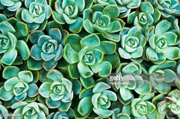 succulents - juicy stock pictures, royalty-free photos & images