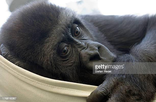 Gorilla baby sucking one\'s thumb.