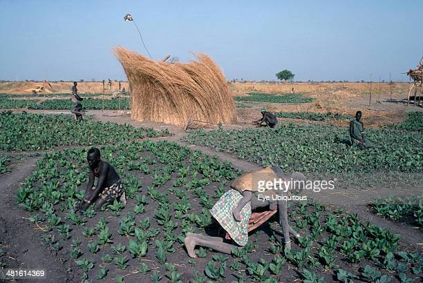 Sudan Agriculture Farming Dinka tending tobacco crop woman carrying child on her back in foreground