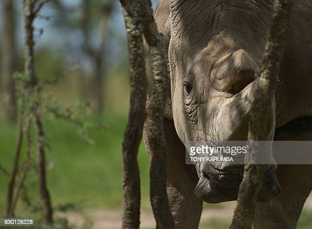 Sudan the last known male of the northern white rhinoceros subspecies stands in his enclosure on December 5 at the Ol Pejeta conservancy in Laikipia...