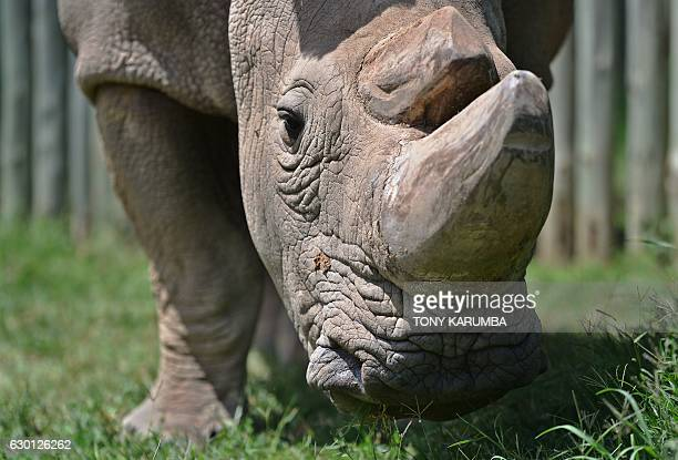 Sudan the last known male of the northern white rhinoceros subspecies grazes in his paddock on December 5 at the Ol Pejeta conservancy in Laikipia...