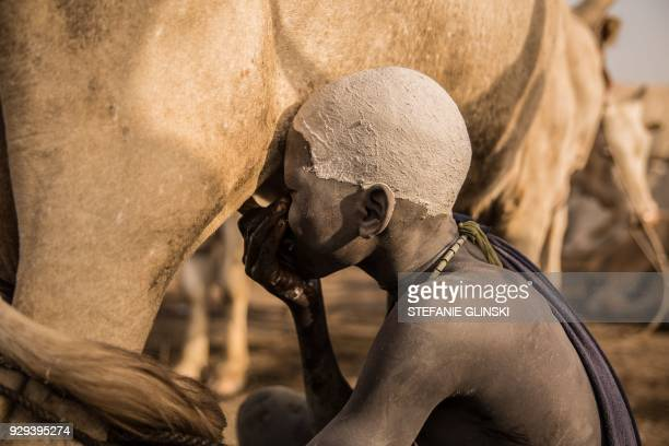 Sudanese boy from Dinka tribe drinks milk from a cow udder at their cattle camp in Mingkaman, Lakes State, South Sudan on March 3, 2018. - During...