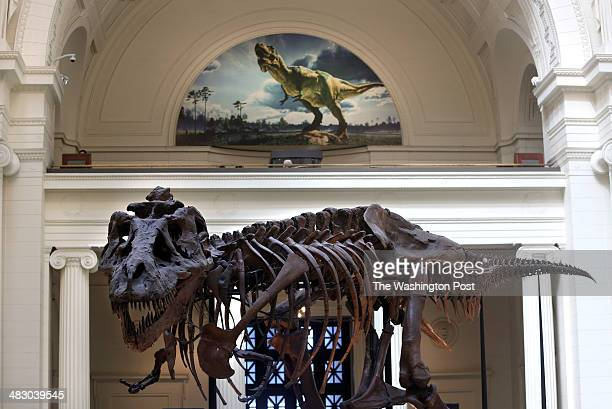 Sue one of the largest most extensive and bestpreserved Tyrannosaurus rex specimens ever found is displayed as part of the permanent collection at...