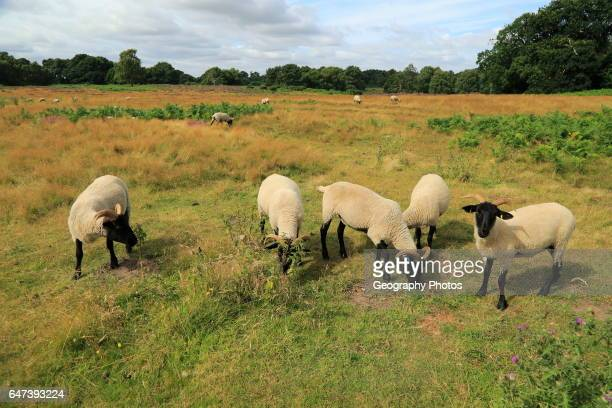 Suffolk Wildlife Trust sheep conservation grazing of heathland Suffolk Sandlings near Shottisham Suffolk England UK