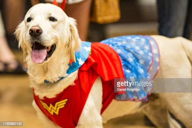 Sugar, an English Golden Retriever attends PAWmicon 2019 dressed as Wonder Woman at Comic-Con Museum on July 07, 2019 in San Diego, California.