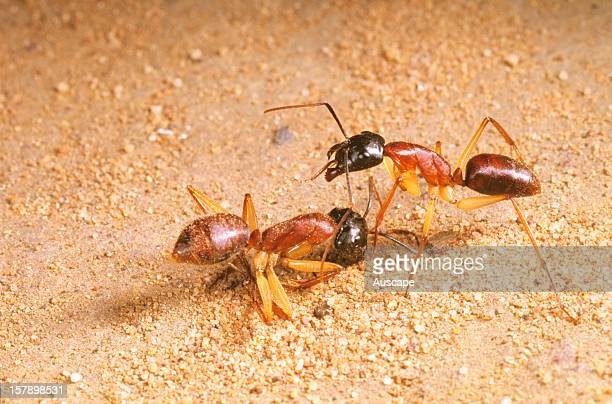 Sugar ant worker standing over dead comrade Australia