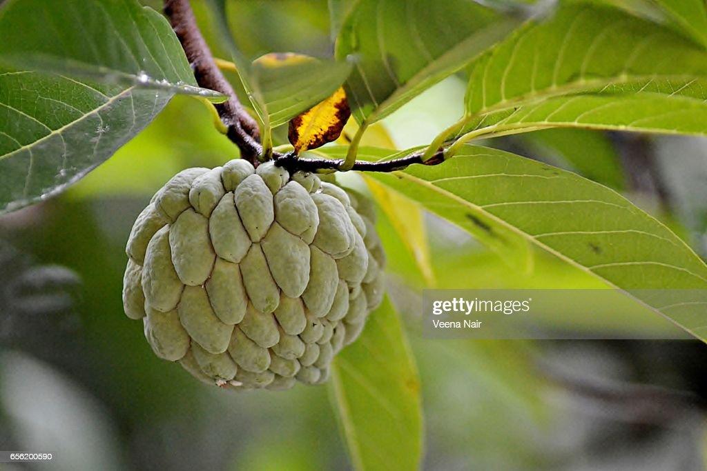 Sugar apple/Custard apple on a tree : Foto de stock