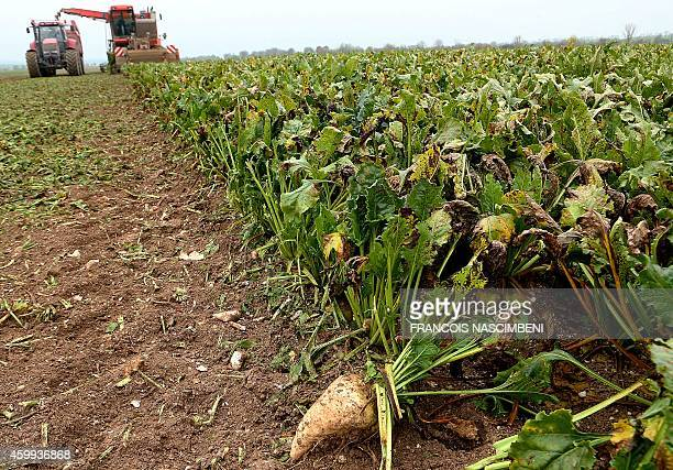Sugar beet, destined for the Crystal Union Group, is harvested on December 3 in Bazancourt, near the eastern city of Reims. The refinery, one of the...