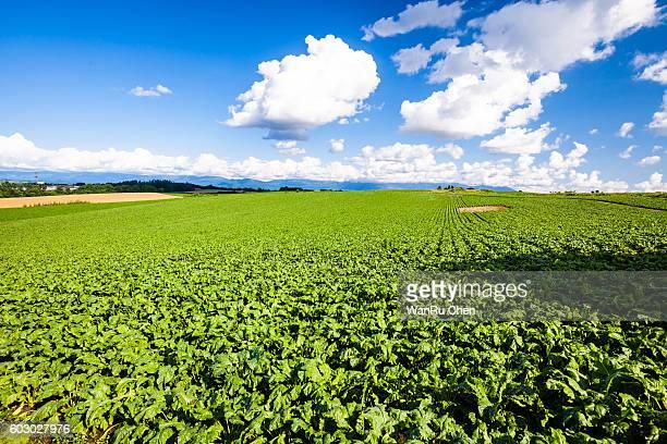 Sugar beet field of Biei, Hokkaido