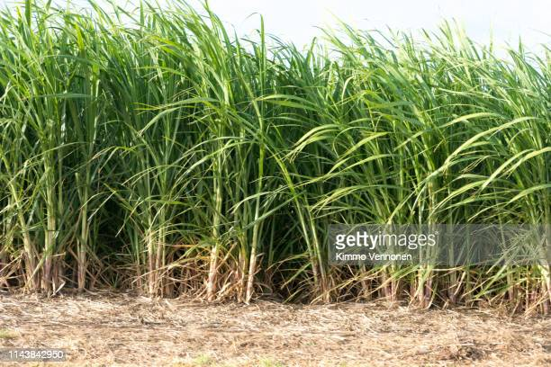 sugar cane by the roadside - sugar cane stock pictures, royalty-free photos & images