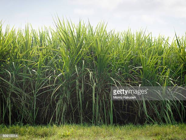 sugar cane crop - sugar cane stock pictures, royalty-free photos & images