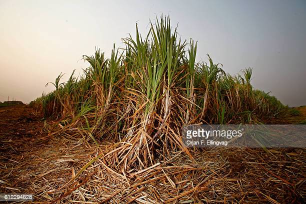 Sugar cane crops for Ethanol production, in Ribeirao Preto. Ethanol is regarded as more environmentally friendly than traditional fossil fuel, but it...