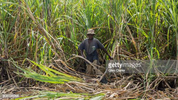 Sugar cane cultivation in Leogane Haiti Léogâne is a city and port lying approximately 20 miles west of PortauPrince on the north shore of the...